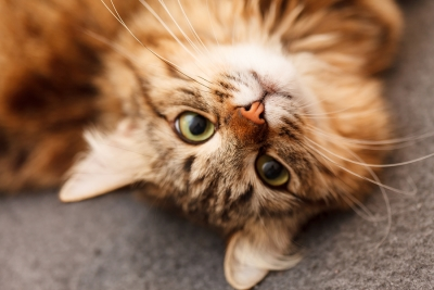 Grooming Your Cat for a Trip in San Jose