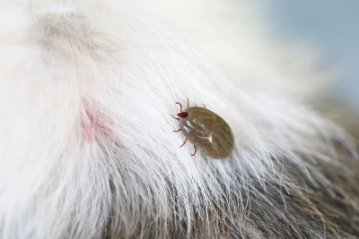 Removing Ticks From Your Dog in San Jose