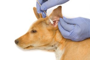 dog ear plucking