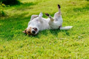 Terrier rolling on green grass