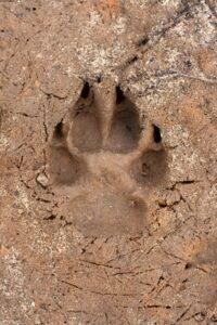 Dog paw print in mud