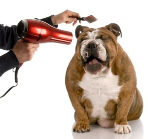Smiling english bulldog getting groomed and pampered