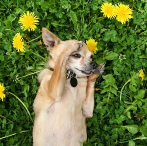 puppy laying in grass next to dandelions