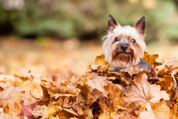 Small dog playing in leaves