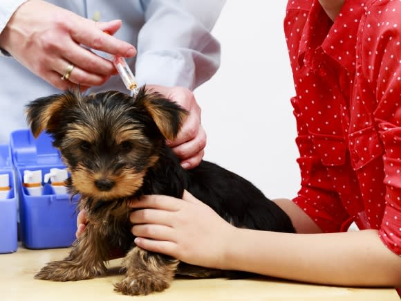 Small brown dog getting vaccinated against the canine flu