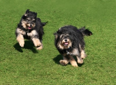 Healthy little dogs running and playing in the grass