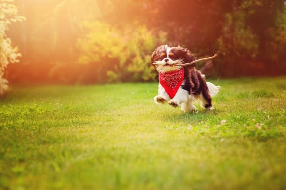 Small dog running with a stick in mouth